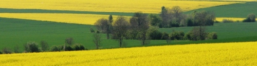 Blooming rape fields in the Burgundy area of France